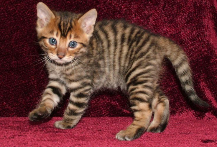 Toyger is a breed of  domestic shorthaired tabby cat with a striped coat like a tiger.
