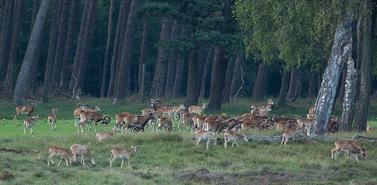 Natuur foto: Ovis aries musimon / Moeflon / European Mouflon