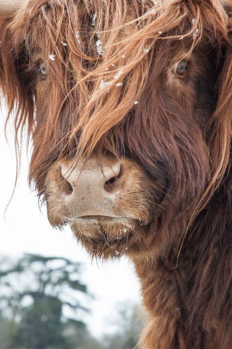 Highland Cattle 5 – Fine Art Photography – Cow – Nature Photography – Hof Ideen :: farm ideas