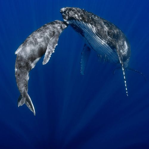 A humpback whale mother swims with her calf, appearing to give her baby a tender kiss on the head. Professional photographer Jon Cornforth captured the touching moment off the coast of Tonga in the Southern Pacific Ocean. Picture: Jon Cornforth / Barcroft Media