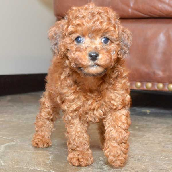 Teacup Poodle Puppies For Sale Males And Females Available