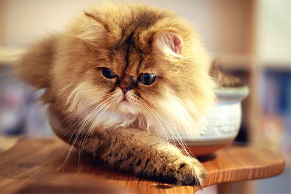 Mahalnya Si Kucing Parsi! Tapi Kenapa Ada Yang Sanggup Berhabis Untuk Membelinya   http://www.wom.my/ada-apa/ekstra/keistimewaan-kucing-parsi/