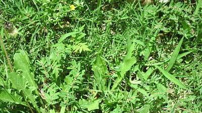 lawn weeds!