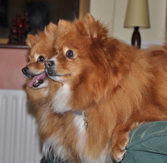 Basic information about Pomeranian Breed