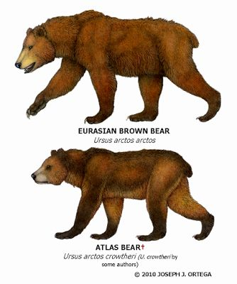 atlas bear ( ursus arctos crowtheri)