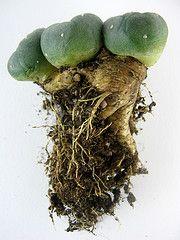 Peyote (farmer dodds) Tags: trip cactus peyote psychedelic hallucinogenic mescaline entheogen lophophora phenylethylamine williasii