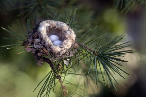 Hummingbird nest -- lined with silk from spiderwebs and cocoons.