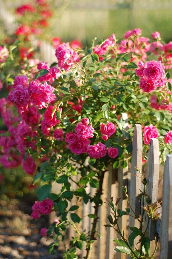 Climbing roses over a white picket fence...I just planted some for my fence!!! :)))