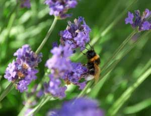 Plant a Bee-Friendly Garden.  Website gives a list of pollinator friendly plants.  I have many on this list, and by far the Borage is their favorite.