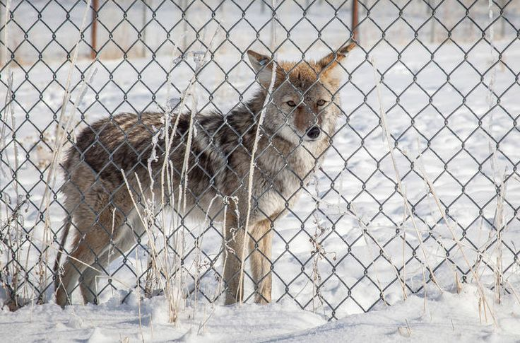 The Sly Coyote Becomes a Bounty Hunters' Target in Utah - NYTimes.com