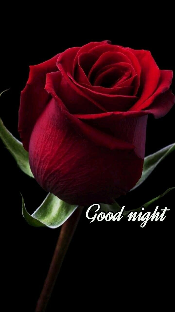Good Night Beautiful Red Rose Bud Good Night Pics Pinterest