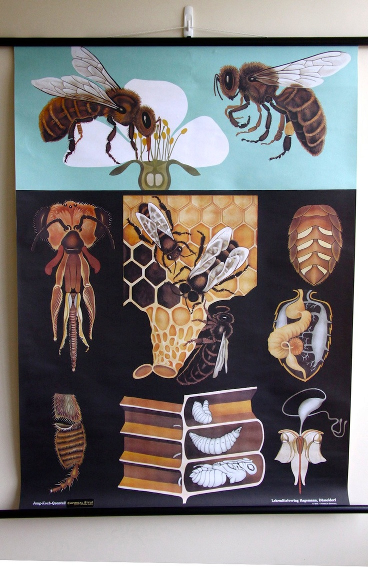 Zoology poster design - Pulldown Canvas Honey Bee Print Poster Chart Wall Hanging Amazing 135 00 Via Etsy Chart Designzoologybeekeepingbumble