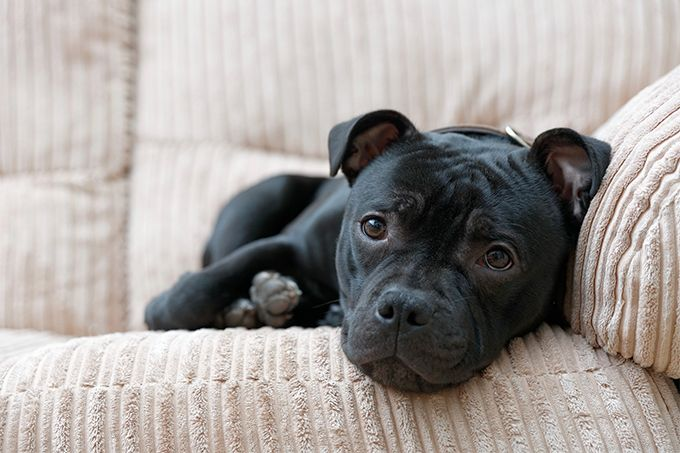 Staffordshire Bull Terrier characteristics, temperament, training and everything else you need to know about these companion dogs.