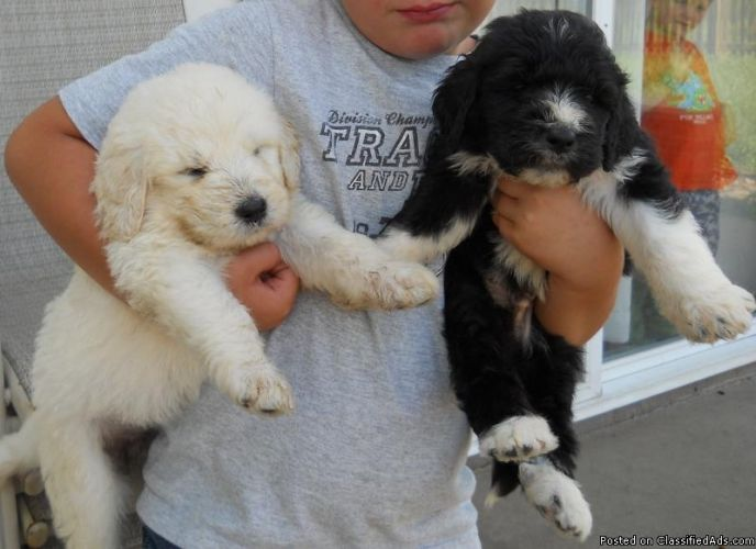 pyredoodle | and pictures, Great Pyrenees Poodle Hybrid ...