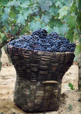 Cesto con las uvas para hacer el famoso vino del Ribeiro