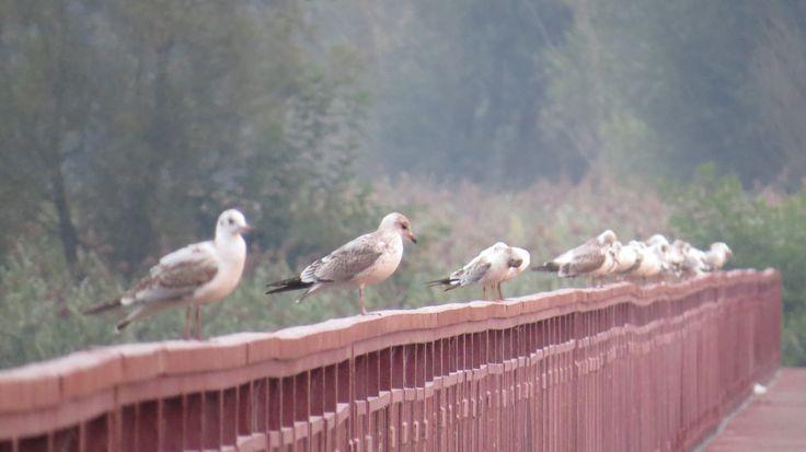 seagulls on bridge
