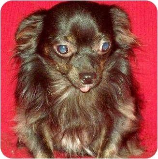 Chihuahua/Cavalier King Charles Spaniel Mix