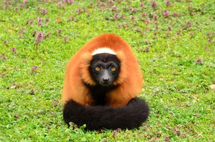 Madagascar 3 Lemur Song lemur varecia ruffed l...