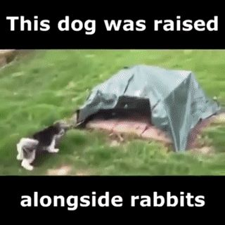 A dog was raised alongside rabbits....