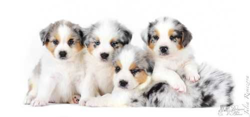 The album of our puppies/ Berger Australien/ Australian Shepherd Dolmens of An Arvor