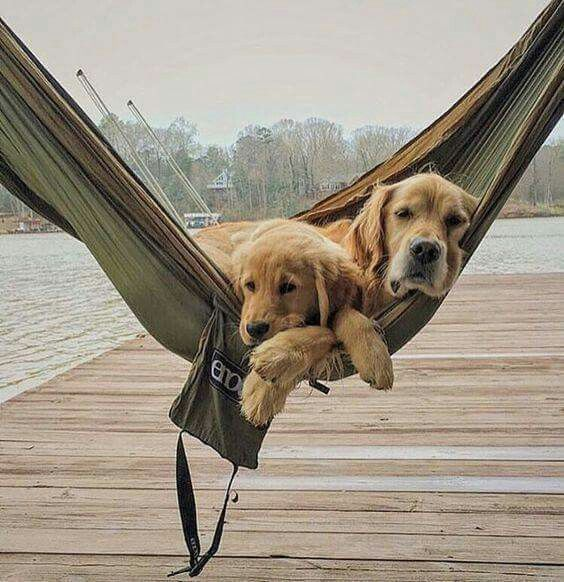 Golden retriever and puppy