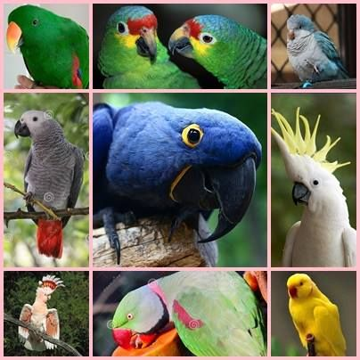 110 best images about pet birds on pinterest love birds different types of and parakeet. Black Bedroom Furniture Sets. Home Design Ideas