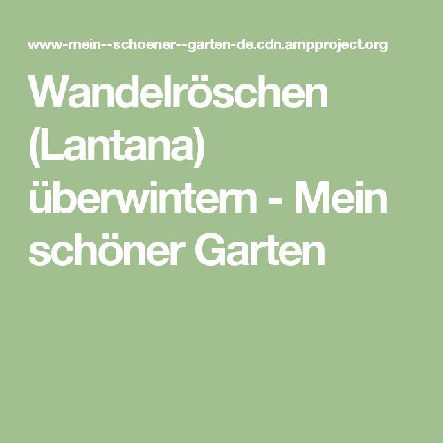 Wandelröschen (Lantana) überwintern - Mein schöner Garten