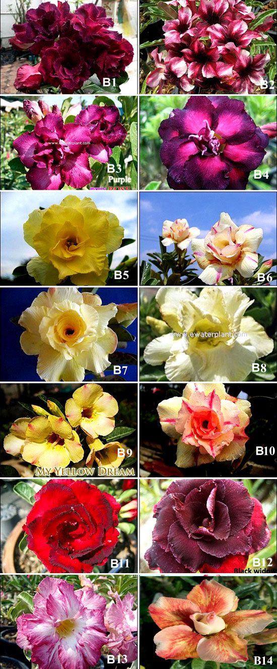 New Rosy Adenium Thailand : Cheap Desert rose plant for sale