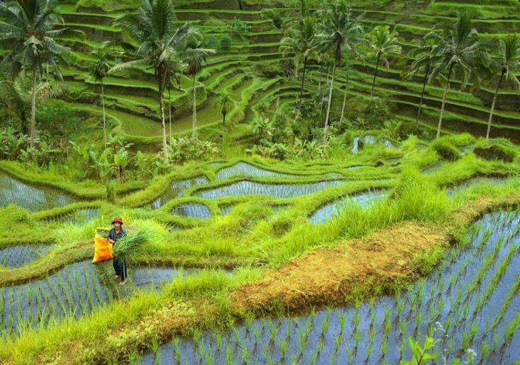 Rice field in Ubud, Bali Island, Indonesia