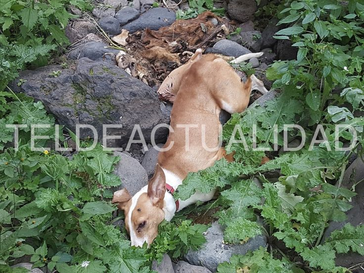 Animal slaughter in the Royal Ravine of Telde -  Some hikers find remains of hunter dogs that supposedly gave death by darting them from a cliff - http://www.teldeactualidad.com/hemeroteca/noticia/sociedad/2017/02/06/12686.html