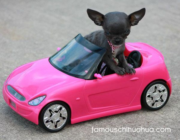 tiny teacup-size blue chihuahua drives a pink convertible!