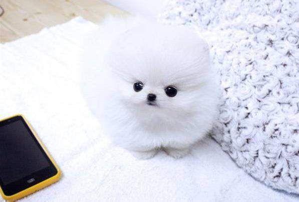 Teacup Pomeranian Husky Puppies