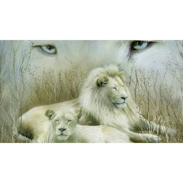 Beautiful White Lions #powerful #LionStrong #StrengthOfALion #beauty #peaceful #Leo #WhiteLion #NatureAtItsBest #beautiful #strength #PicOfTheDay #loveit