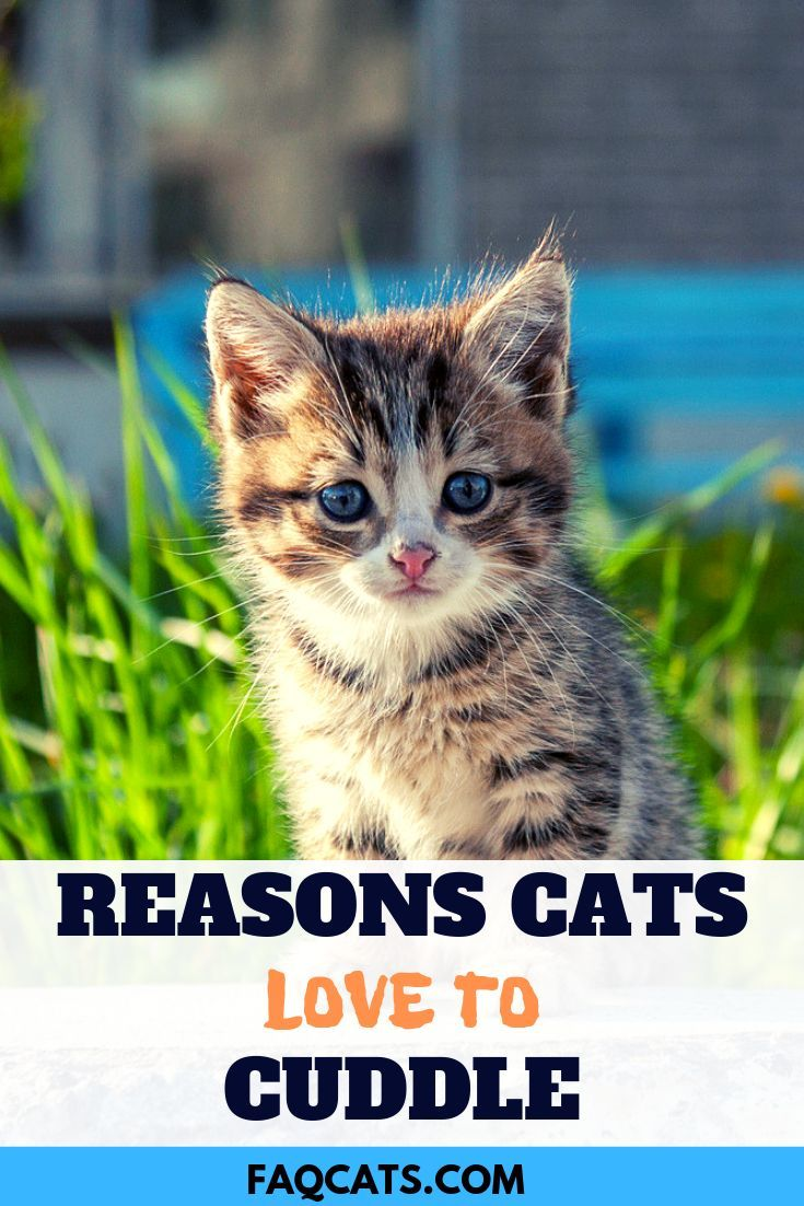 Cats Can Be Adorable Loving Funny Playful And Smart Get To Know The Breeds That Love To Cuddle Stay Happy And W Kitten Breeds Tabby Cat Cat Personalities