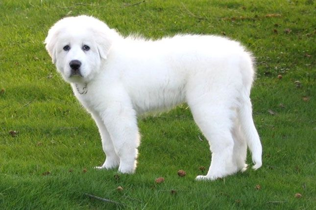 How Big Do Pyrenees Dogs Get