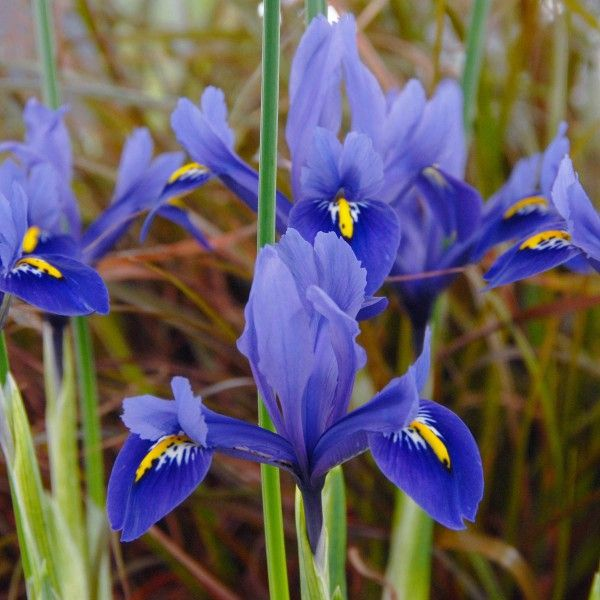 Iris reticulata 'Harmony' - Diese schöne kleine Mini-Iris besticht durch ihre unbeschreiblich intensive, blau-lila Farbe. Pflanzzeit ist im Herbst - online erhältlich bei www.fluwel.de