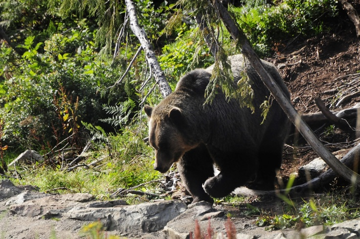 grizzly bear, grouse mountain, vancouver bc, canada.
