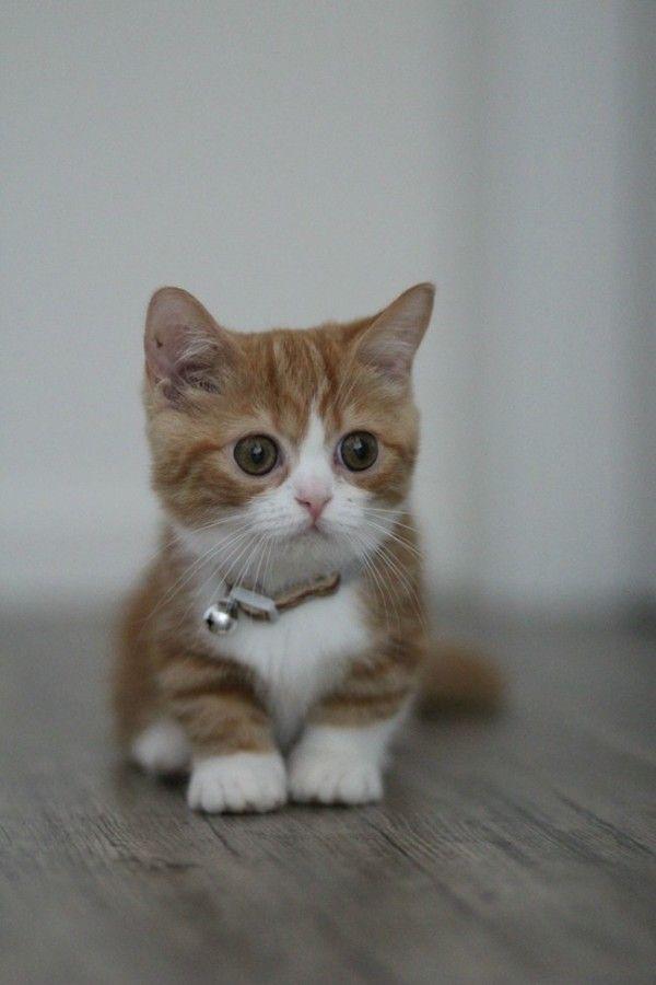 Diese entzückend kurzen Munchkin-Kätzchen sehen falsch aus, aber sie sind SO echt und SO …   – I Heart Kitties
