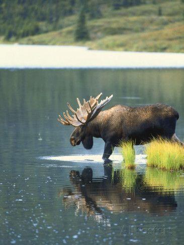 Bull Moose, Denali National Park, Alaska, USA