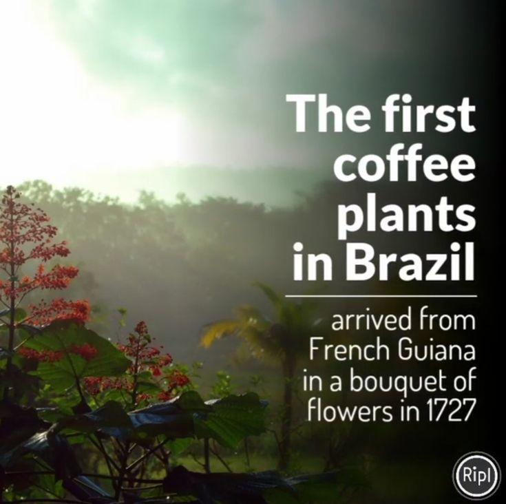 💡☕Die ersten #Kaffee Pflanzen in Brasilien kamen 1727 aus #FranzösischGuyana in einem Blumenstrauß. 💐 👉 Warum in einem Blumenstrauß erfahrt ihr hier: http://bunaa.de/de/franzoesisch-guyana/