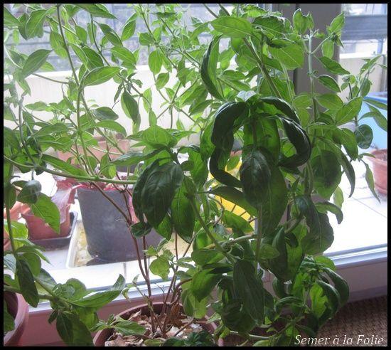 1000 id 233 es sur le th 232 me semis basilic sur plantes