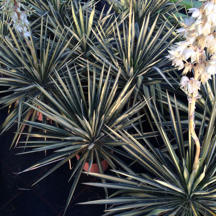 Yucca filamentosa variegata