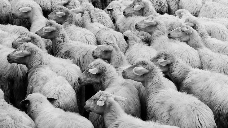 moutons-sheep_0701