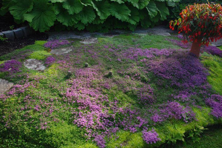 tapis de sagine et de thym au jardins de vos r ves belles plantes ext rieures pinterest. Black Bedroom Furniture Sets. Home Design Ideas