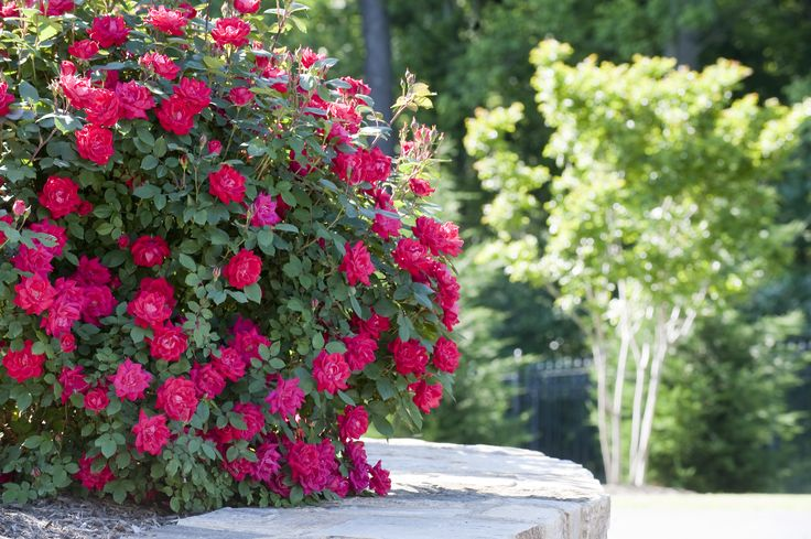 Roses In Garden: 17 Best Images About Gardening Blogs On Pinterest