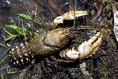 Astacopsis Gouldi, budidaya lobster, lobster air tawar
