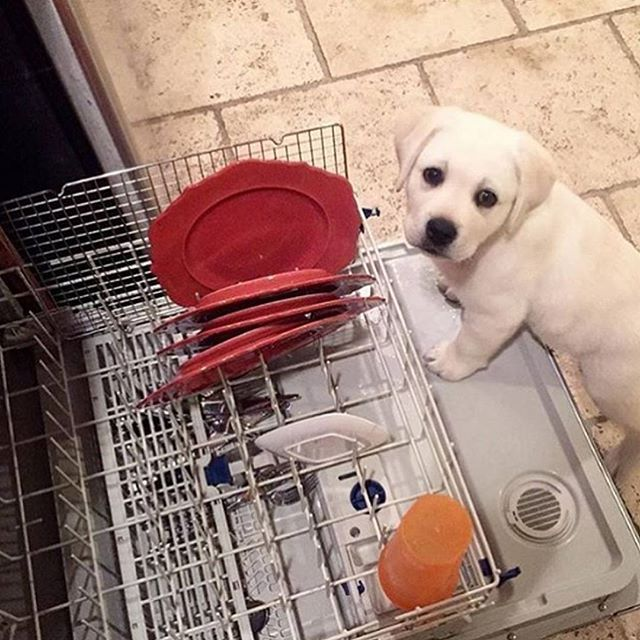 Personal dishwasher cleaner #labrador 📷 credits by @little_buddy_beacon