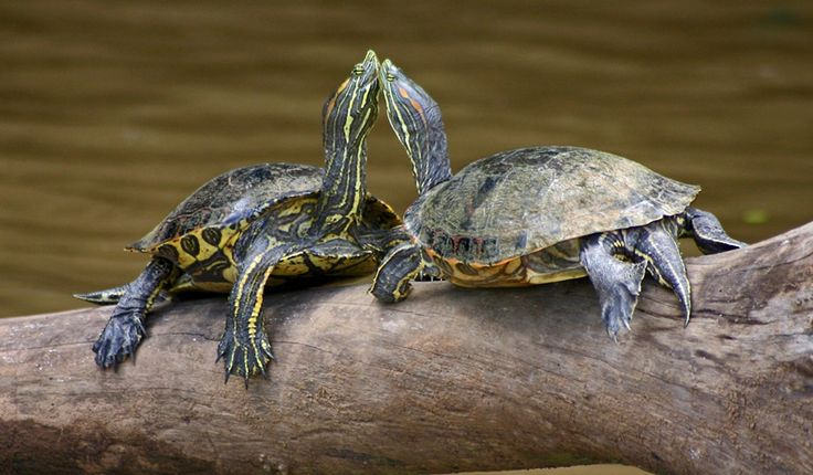 Estanque para tortugas acuáticas - http://www.depeces.com/estanque-tortugas-acuaticas.html
