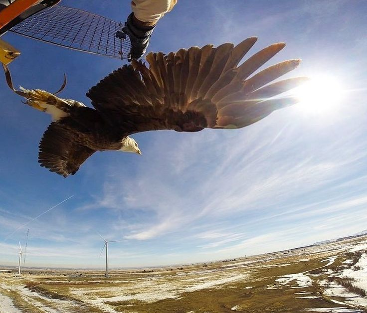 SPIRIT IN THE SKY: Happy #NationalBirdDay! Here's Spirit a trained bald eagle from @auburnu taking flightat the National Wind Technology Center. . Our colleagues at the National Renewable Energy Laboratory (NREL) near Boulder COenlisted Spirit's help to  test radar that could potentially detect birds in a wind farm and prevent bird collisions with wind turbines. . Follow@nationalrenewableenergylabfor more stunning photos from the cutting edge of energy technology! | Photo by Lee Jay Fingersh…