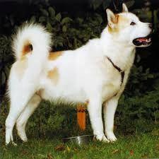 """El Perro esquimal canadiense es una raza de perro ártica, considerada frecuentemente la más antigua de América del Norte y el más raro pedigrí que se conserva de caninos domésticos de indígenas.1 2 Otros nombres incluyen Qimmiq (término Inuktitut para """"perro"""") o el considerado más políticamente correcto Perro Inuit canadiense"""